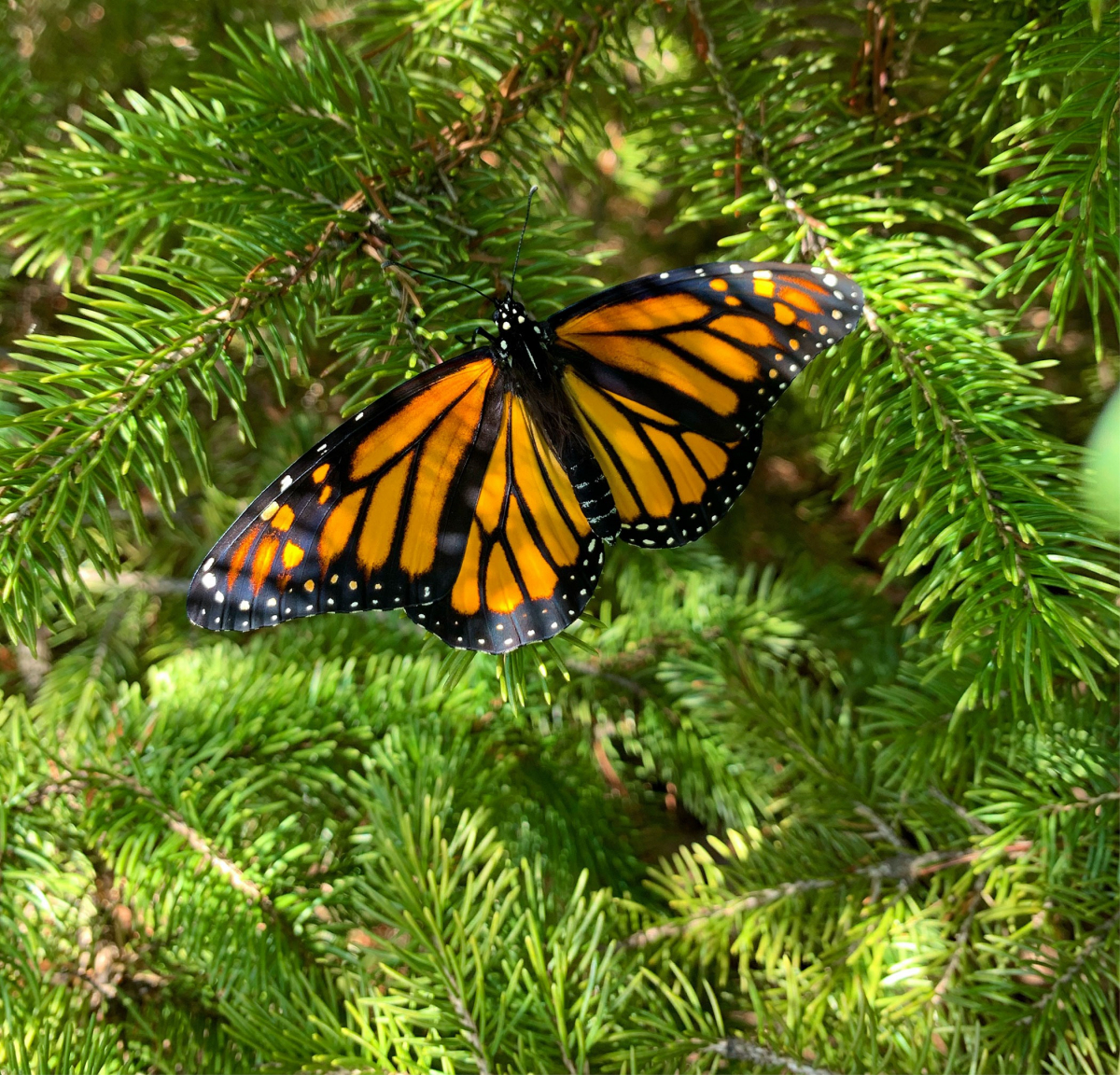 gallery/butterfly-pine-tree-portage-inn